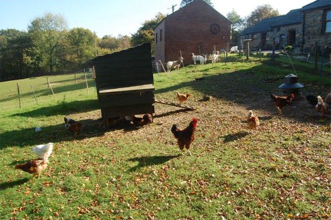 The chickens at Caer Cadwgan BnB.